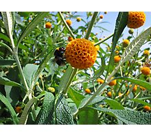Bee on a Buddleia Photographic Print
