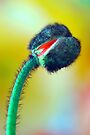 Red Poppy Bud by Renee Hubbard Fine Art Photography
