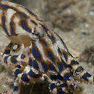 Blue Lined Octopus by James van den Broek