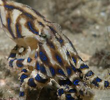 Blue Lined Octopus by James van den Broek