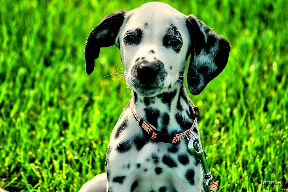 Dalmatian by terrebo