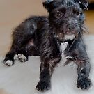 Bailey - Patterdale Terrier by Chris Clark
