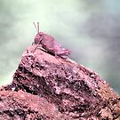 Grasshopper on the rocks by jimmy hoffman