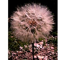 Blowball Photographic Print