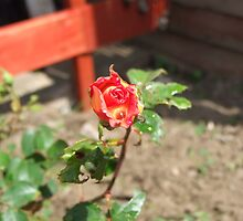 Two toned Rose by Marie Brown ©