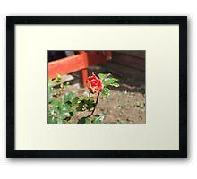 Two toned Rose Framed Print