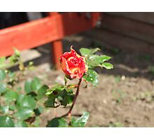 Two toned Rose Photographic Print