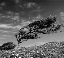 Wild Cornish Bonsai by James Stevens