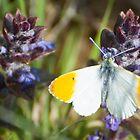 Orange tip butterfly by DaleReynolds