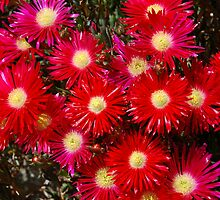 Red Daisies by James Stevens