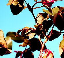 Roses are pink, The sky is blue by Angelina Ioannides-Beer