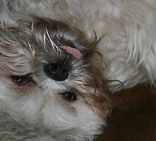 shitzu puppy Jet-Li by derekmccrea