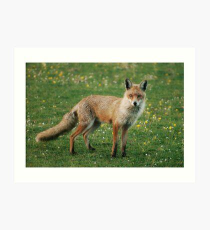 The Curious Fox Art Print
