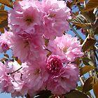 V - Late Pink Cherries, Close, Liberty State Park April 2009 by Jim Legge