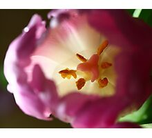 Pink Tulip flower Photographic Print