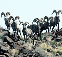 Big Horn Sheep - 9330 by BartElder