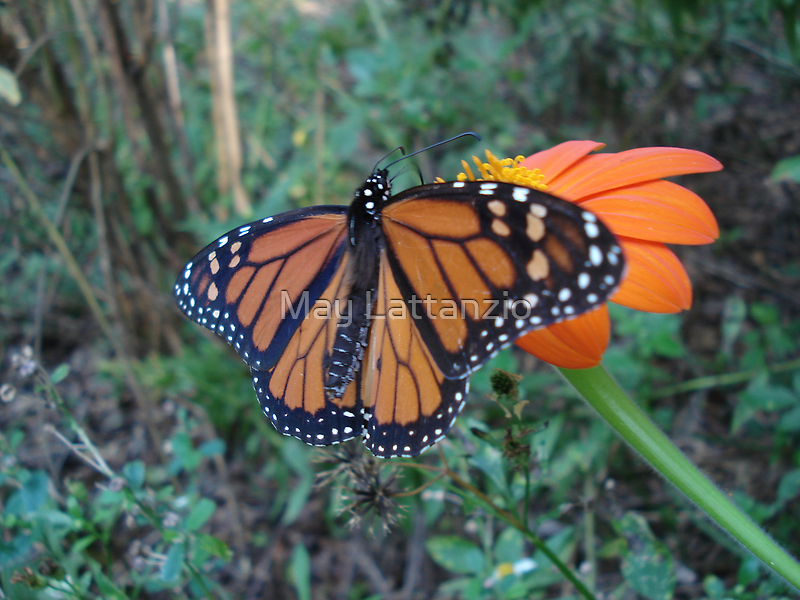 Monarch in Bidens alba by May Lattanzio