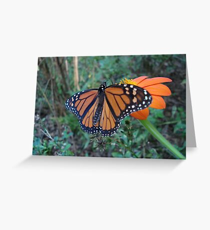 Monarch in Bidens alba Greeting Card