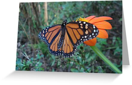 Monarch in Bidens alba by May Lattanzio