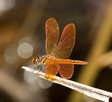 Perithemis domitia (Slough Amberwing) by Jim Johnson