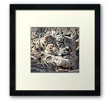 A White mountain lion. Framed Print