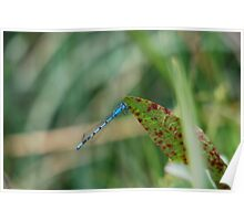Common Blue, or Azure Damsell Fly Poster