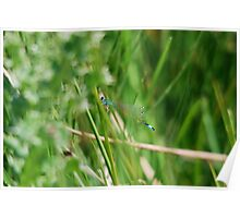 Scarce Blue Tailed Damselfly Poster