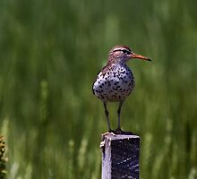 Spotted Sand Piper 1 by John Absher
