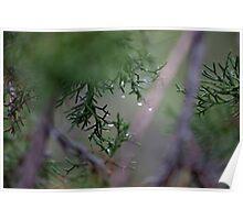 Macro Wet Evergreen Poster