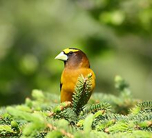 Mr Evening Grosbeak by Teresa Zieba