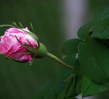 Rose Bud In The shadows by Linda Miller Gesualdo