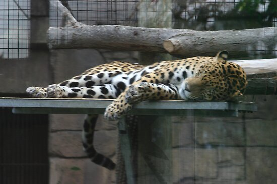 Cat Nap by Alyce Taylor
