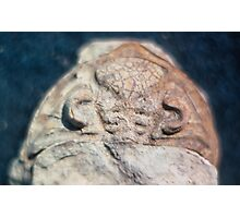 Dalmanites (trilobite) cephalis fossil from Usk, Monmouthshire Photographic Print