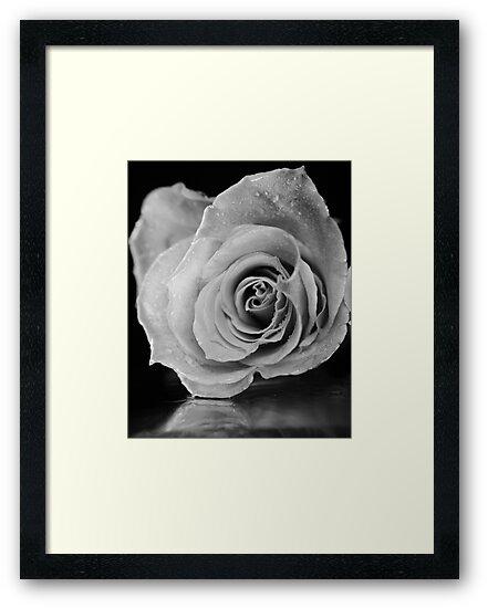 Black and white rose. by ikshvaku