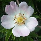 Wild Rose by shiraz