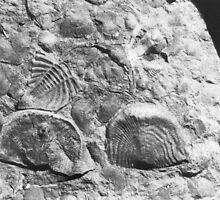 Trilobite and brachiopod fossils from Usk, Monmouthshire by BlackbarnGifts