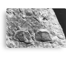 Trilobite and brachiopod fossils from Usk, Monmouthshire Canvas Print