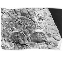 Trilobite and brachiopod fossils from Usk, Monmouthshire Poster