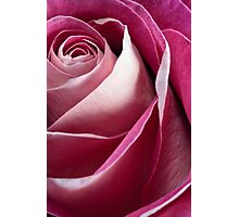 Single pink rose Photographic Print