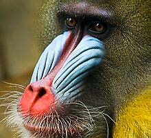 Mandrill by Wayne Harris