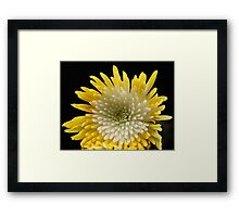 Yellow white Chrysanthemum Framed Print