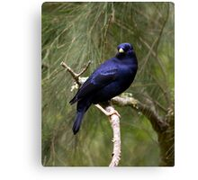 Male Bower Bird Canvas Print