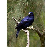 Male Bower Bird Photographic Print