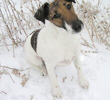 Adorable Fox Terrier Smooth Coat by welovethedogs