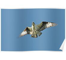 Territorial Osprey Male Poster