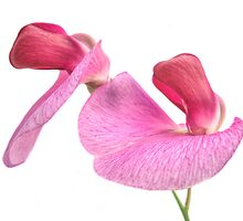 Lathyrus odoratus by John Edwards