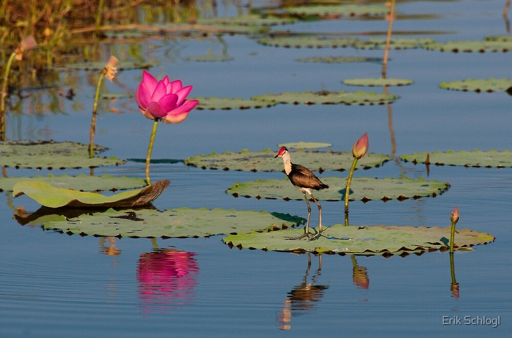 Comb-Crested Jacana on the South Alligator River, Kakadu National Park by Erik Schlogl