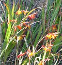 Red Tassie Flowers by KazM
