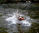 Brunos first water retrieve by SWEEPER