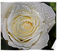 A white Rose. Poster